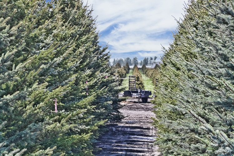 Omaha Area Christmas Tree Farms - O'Daniel Honda Omaha